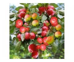 Pomi columnari pitici,meri.ciresi,caisi,nectarin-10+5 gratis
