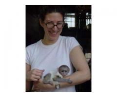 Maimuță uimitoare de capucini Disponibil pentru adopție