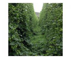 Butasi hamei hallertauer,northern brewer,saaz ,styrian goldings,cascade-10+5 gratis